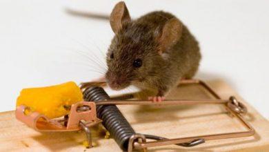 تخلص من الفئران بشكل نهائي